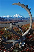 Life and death in Denali Natioanl Park.