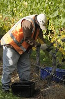 Hand picking grapes in a vineyard in the Marlborough region near Blenheim South Island New Zealand
