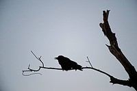 Silhouette of a crow at Bosque del Apache National Wildlife Refuge.