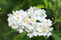 Multiflora rose, baby rose (Rosa multiflora), Neustadt an der Weinstrasse, Rhineland-Palatinate, Germany, Europe