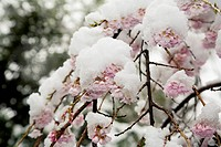 Cherry blossoms covered in snow