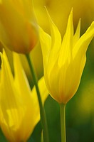 Tulip, Tulipa speciosa, species tulip.