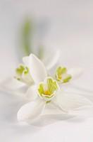 Snowdrop, Galanthus nivalis.