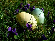 Easter eggs on a meadow with Viola odorata
