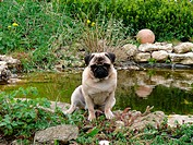 pug is sitting next to garden pond