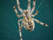 garden spider, Araneus diadematus, in its spiderweb
