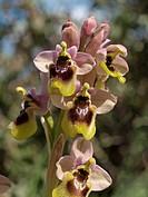 Ophrys tenthredinifera, Sawfly orchid