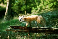 Red fox on a log