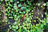 Strawberry Poison Dart Frog Dendrobates pumilio, Bastimentos island, Bocas del Toro province, Caribbean sea, Panama.