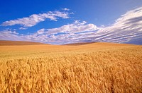 Wheat fields _ Washington