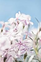 Blossoming creeping phlox, Phlox subulata Candystripe.