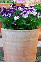 Hornveilchen Viola cornuta, Stiefmütterchen