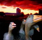 Geese on Farm