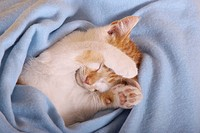 Domestic Cat sleeping in a woolen blanket