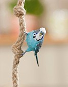 Budgerigar, Budgie Melopsittacus undulatus. Blue bird hanging on a rope. Not available for books on pet keeping up to 9/2014