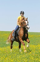 Young rider on a Welsh Cob section D stallion galloping in a meadow