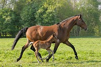 Oldenburg Warmblood. Mare with foal trotting on a meadow