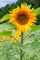 Blühende Sonnenblumen Helianthus