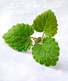 Sprig Of Lemon Balm