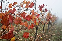 Vineyard in mist of autumn, a few grapes left for harvesting Spaetauslese, a fine dessert wine, Rust, Burgenland, Austria.