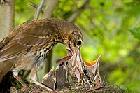 Song Thrush, turdus philomelos, Adult Feeding Chicks in Nest, Normandy