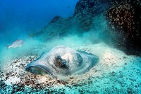 Diamond stingray (Dasyatis brevis), foraging on sandy seafloor, Punta Cormorant, Floreana Island, Galápagos Islands, a World Heritage - natural site, ...