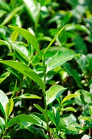 Japanese green tea plant