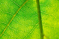 Closeup of a green leaf as background
