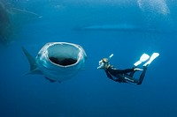 Whale Shark and Freediver, Rhincodon typus, Cenderawasih Bay, West Papua, Papua New Guinea, New Guinea, Oceania