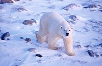 Polar bear _ Churchill, Manitoba