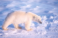 Polar bear hunting _ Churchill, Manitoba