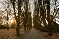 Deserted hornbeam alley at the cemetery, Dortmund, North Rhine_Westphalia, Germany, Europe