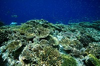 Hausriff der Malediveninsel Ellaidhoo, Ari_Atoll, Malediven, Indischer Ozean, Coral reef of the maldivian island Ellaidhoo, Ari_Atoll, Maldives, India...