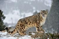 Snow leopard Panthera uncia or Uncia uncia, Bozeman, Montana, USA
