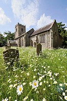 Oxe eye daises, leucanthemum vulgare, growing in a country churchyard, Norfolk, UK, June