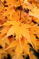 Maple, Acer.