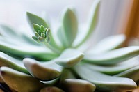 Close_up of succulent plant
