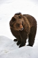 Eurasian brown bear Ursus arctos arctos in the snow in winter, Bavarian Forest National Park, Germany