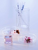 Close up of lavender and laboratory glassware, studio shot