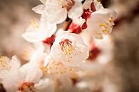 Close_up of cherry blossom