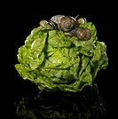 fresh lettuce and snails