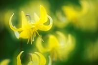 Fawn Lily Erythronium revolutum