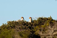 Secretary Birds Sagittarius serpentarius nesting on top of the tree, Kariega Game Reserve, South Africa