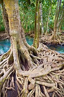 Thailand - Krabi province, mangrove forest in Tha Pom Khlong Song Nam National Park