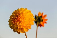Decorative yellow Dahlia (Dahlia sp.) in the evening light, Hesse, Germany, Europe