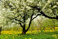 Blooming fruit tree in meadow