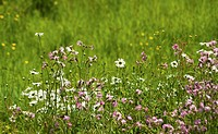 Campion, red, Silene dioica.