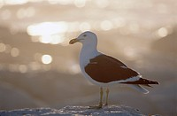 Southern Black_Backed Gull