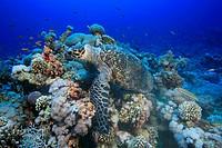 Echte Karettschildkröte am Woodhouse_Riff in der Strasse von Tiran, Eretmochelys imbricata, Sharm el Sheikh, Ägypten, Rotes Meer, Hawksbill Sea Turtle...
