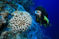 Taucherin mit Blasenkoralle, Plerogyra sinuosa, Sharm el Sheikh, Ägypten, Rotes Meer, Scuba Diver and Bubble Coral, Sharm el Sheikh, Aegypt, Red Sea